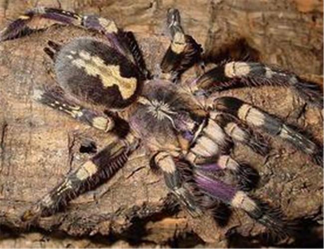 又名幽灵华丽雨林蜘蛛,虽然它们都是树栖的种类,但是仅仅分布在斯里兰