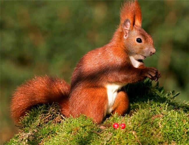 欧洲红松鼠的体型较大,性格偏外向,动作灵敏,活泼可爱讨人喜.