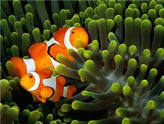 金边透红小丑鱼