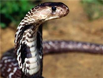 森林眼镜蛇