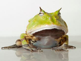 亞馬遜角蛙