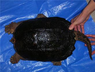 中美拟鳄龟