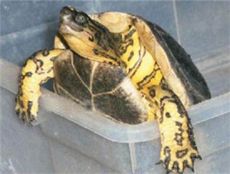 哥伦比亚木纹龟