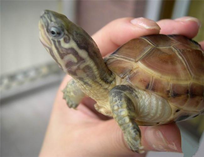 科:龟科 属:乌龟属 种:草龟 分布区域:山溪,湖、湿地,河流,中国,日本,菲律宾以及欧美。 外观特征:乌龟体为长椭圆形,背甲稍隆起,有3条纵棱,脊棱明显。头顶黑橄榄色,前部皮肤光滑,后部其细鳞。 生活习性:水陆两栖性。乌龟是用肺呼吸,体表又有角质发达的甲片,能减少水分蒸发。性成熟的乌龟将卵产在陆上,不需要经过完全水生的阶段。 繁殖习性:卵生,一只雌亲龟年产卵3~4次,每次一穴5,每穴2~7枚 食性:乌龟属杂食性动物,在自然界中,动物性饲料主要为入蠕虫、小鱼、虾、螺蛳、蚌、蚬蛤、蚯蚓以及动物尸体及内脏、热