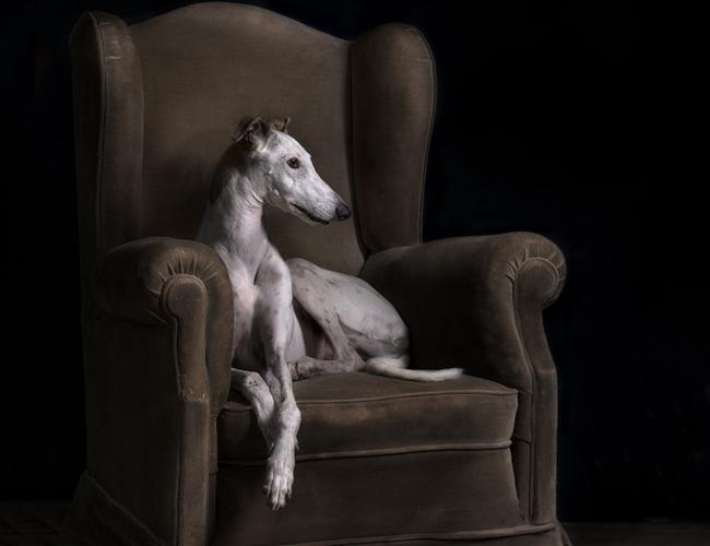 意大利灵缇犬