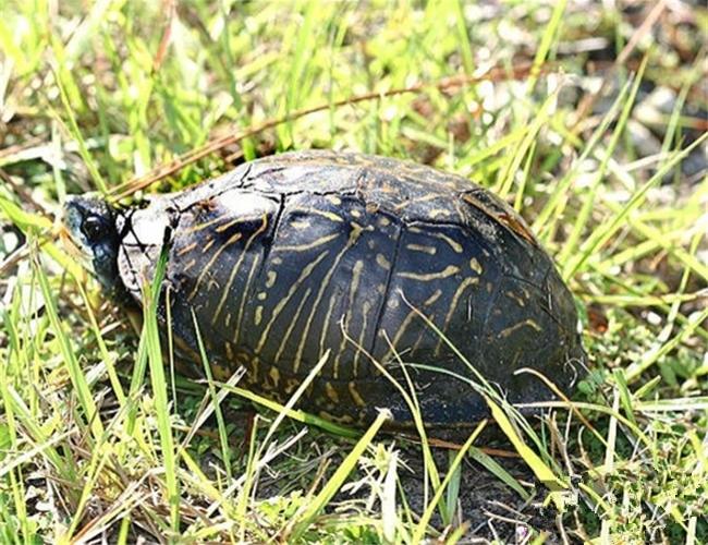 佛罗里达箱龟
