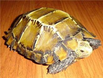 6厘米赫曼陆龟怎么喂食
