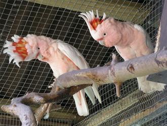 米切氏鳳頭鸚鵡