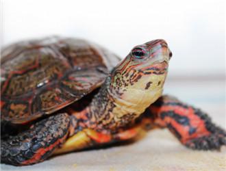 洪都拉斯木紋龜