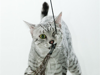 喜马拉雅猫咪图片