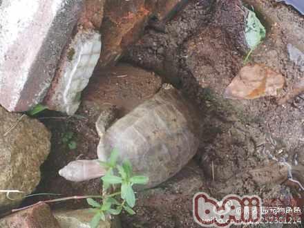 波奇 坚强 老鼠 宠物/这是一只被老鼠咬了只剩三只脚的龟龟依然锦健康,好强悍。