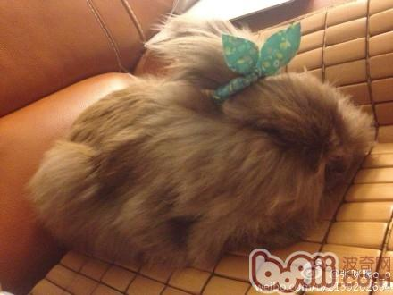 扎辫子的兔兔|-波奇网百科大全