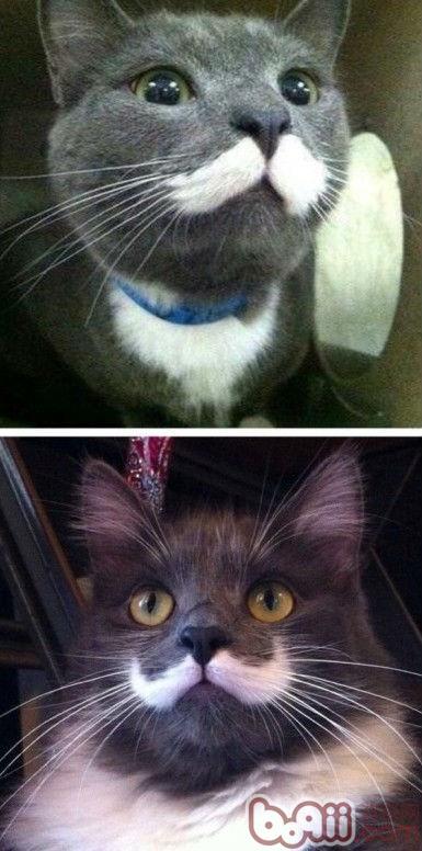有型的胡子猫