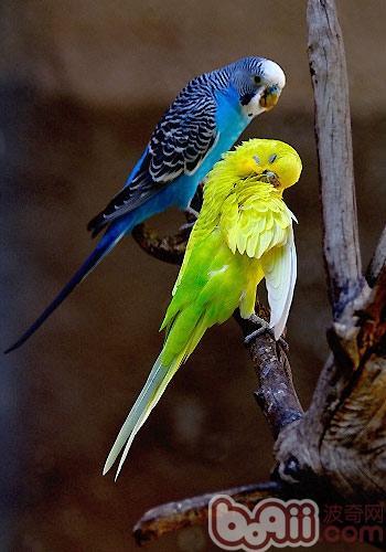 虎皮鹦鹉繁殖期间的注意事项