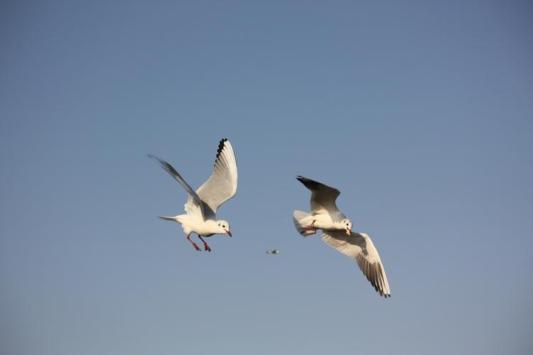 鸟为食狂,鸟类捕食高清图片