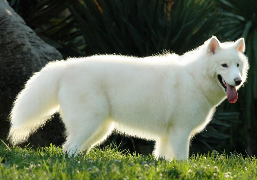 漂亮的白色哈士奇!