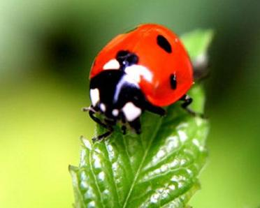 七星瓢虫--花草中的小红点点