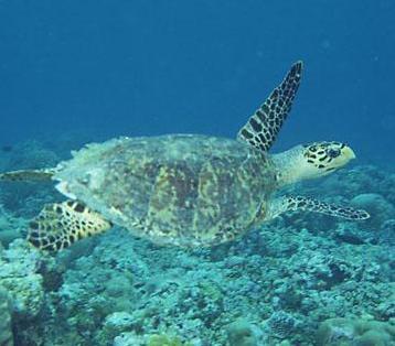 (~ ̄▽ ̄)~ 大海中悠游的海龟