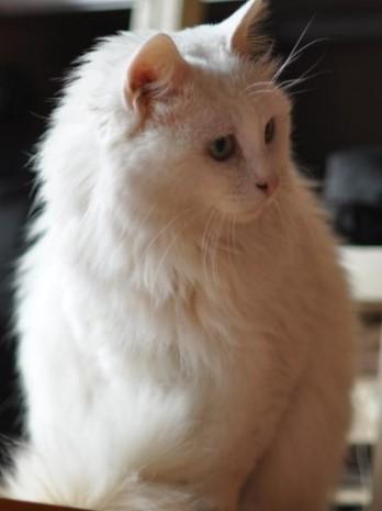 茶杯小猫简笔画图片大全可爱