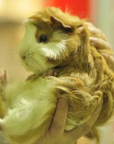 宠物豚鼠图片---给PO妞洗洗干净过年咯