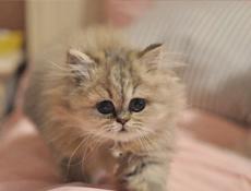 萌猫金吉拉一一