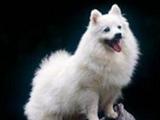 长知识:7种长的最像狐狸的狗狗!