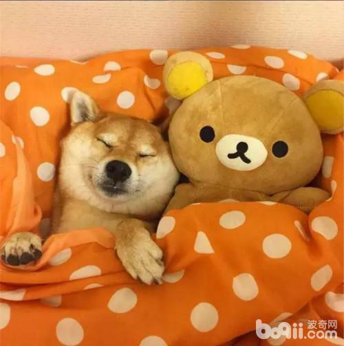 当柴犬遇上轻松熊 哈哈哈好蠢好萌!