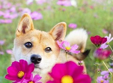 这只柴犬是个爱花的姑娘,花中的她简直美哭!