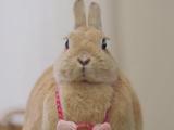 胖到连脖子都没了的兔兔