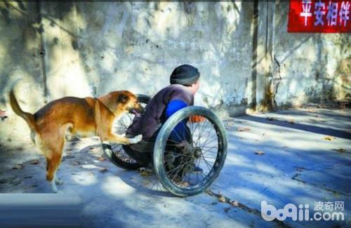 土狗推残疾主人去摆摊,自己找吃的天冷给主人暖脚