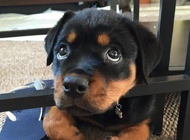 罗威纳犬小时候真的太太太萌啦~~