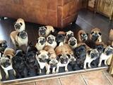 一女子养了20多只巴哥犬