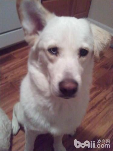 一半是哈士奇一半是拉布拉多的狗狗你见过没