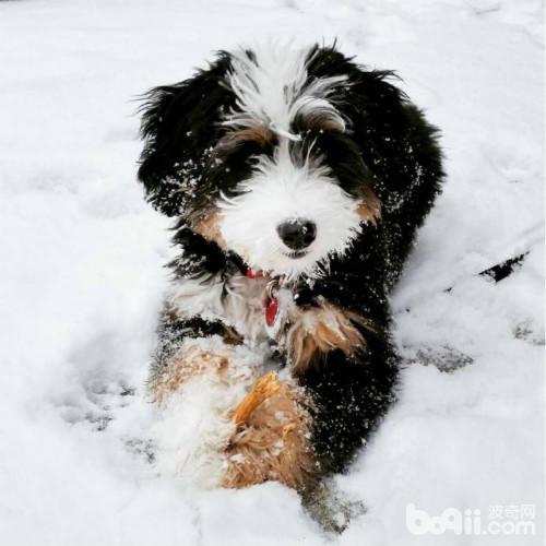 贵宾和伯恩山犬的混血,真的是超级可爱啊!