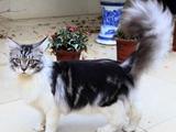 温柔的巨人——缅因猫