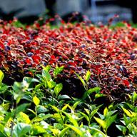 观叶植物繁殖