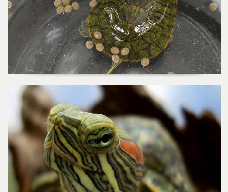 巴西龟饲料 乌龟幼龟开口粮补钙防 软壳水龟饲料
