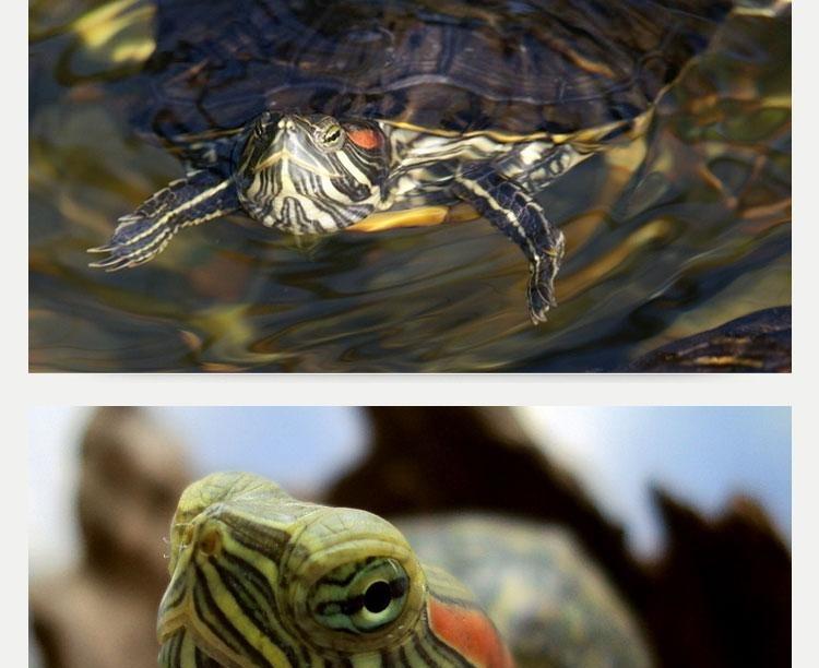 NOMO水龟粮 草龟巴西龟饲料 幼龟食物100g