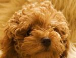 泰迪犬价格跟什么有关