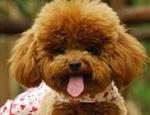 了解贵宾犬的性格特点