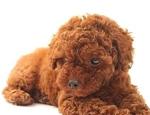 泰迪狗颜色究竟有多少种