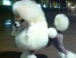 不同贵宾犬有何不同的形态特征