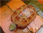 草龟常患的疾病有哪些