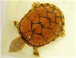 水龟类宠物龟正常蜕皮与几种常见皮肤病的鉴别诊断