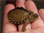 龟的烂甲腐甲的处理和对策