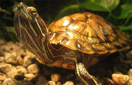 家养水龟常见疾病的诊疗技术