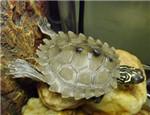 宠物龟白眼病的治疗
