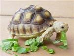 陆龟常见疾病的病因介绍