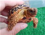 陆龟直肠堵塞怎么办