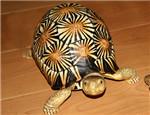 陆龟拒食的常见原因以及解决办法